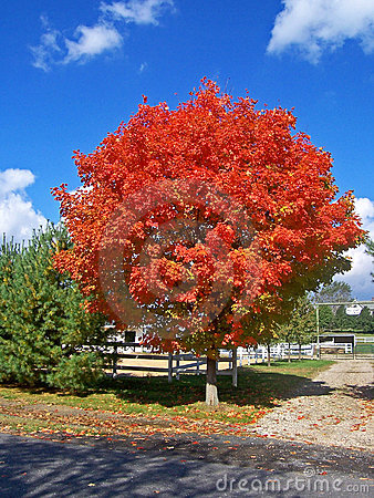 Fire Red Tree