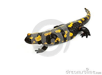 Fire Salamander-2