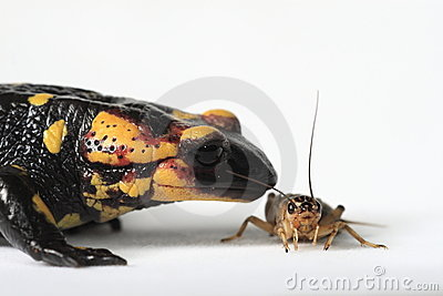 Fire Salamander eating a brown cricket