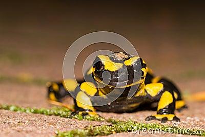 Fire salamander portrait