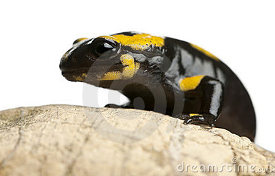 Fire salamander on rock, Salamandra salamandra