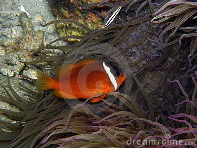 Fire Tomato Clown Fish in purple anemone