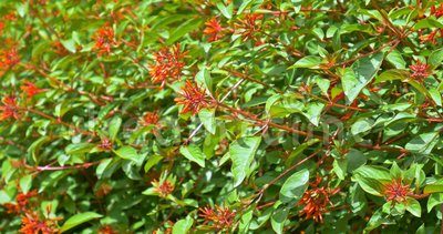 Firebush Bush Lub Hummingbird (Hamelia pateny) zdjęcie wideo