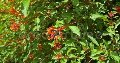 Firebush Bush Lub Hummingbird (Hamelia pateny) zbiory
