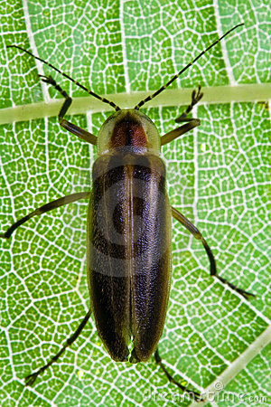 Firefly Lightning Bug On Leaf Royalty Free Stock Image Image 21359396