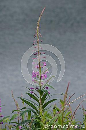Fireweed (Epilobium angust)