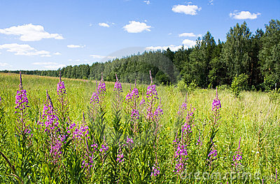 Fireweed in field