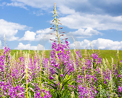 Fireweed flowers in summer