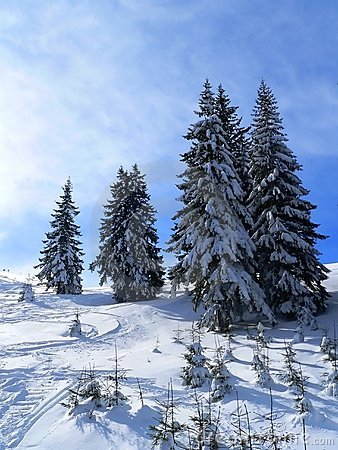 Free Firs In Winter Time Royalty Free Stock Images - 1528799