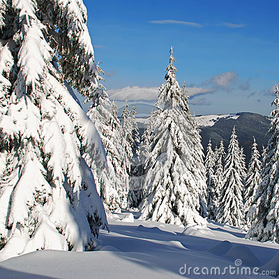 Free Firs  Under Snow Stock Image - 27956731