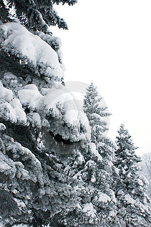 Firs in winter park