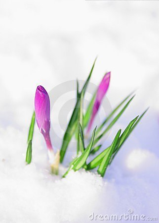 Free First Flowers Crocus Royalty Free Stock Photo - 7847985