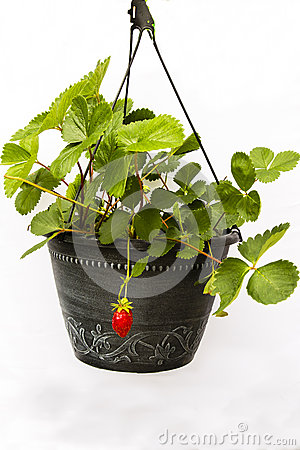 Free First Fruit: Strawberry Plant In Black Pot Stock Images - 41916124