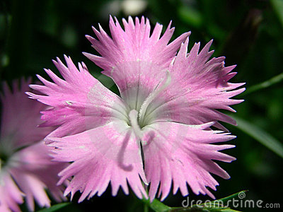 First Love Dianthus