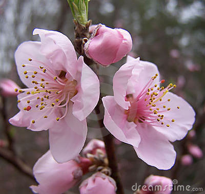 First Peach Blossoms in Georgia