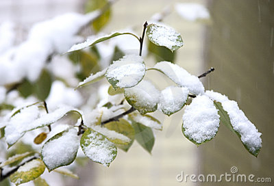 First snow on green leaves