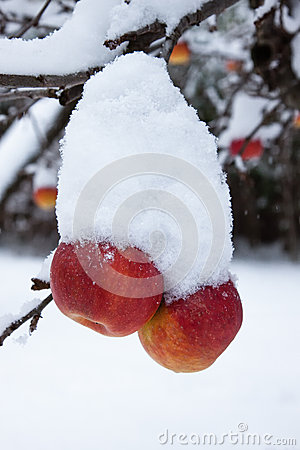 First snow and last apples