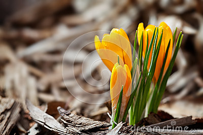 First Spring Crocus
