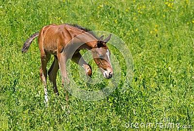 First steps of newborn foal