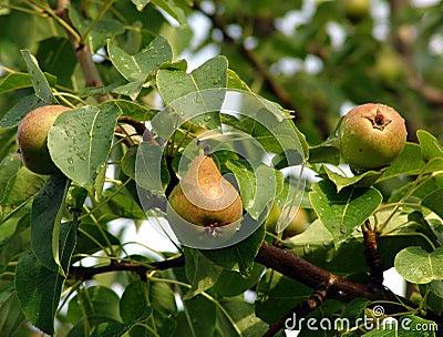 Ripe pears on leafy tree