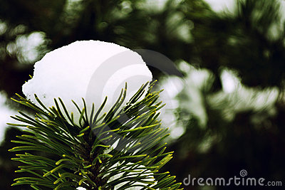 A firtree with snow