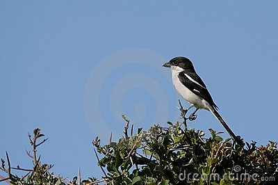 Fiscal Shrike Bird