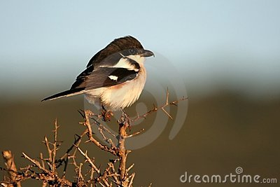 Fiscal Shrike Female