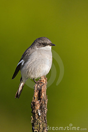 Fiscal shrike (lanius collaris)