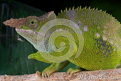 Fischer s Chameleon male
