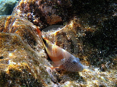 Fish Adult Blackside Hawkfish