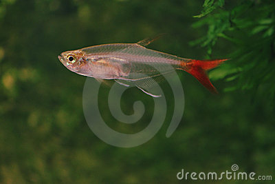Fish in aquarium-Glass Bloodfish