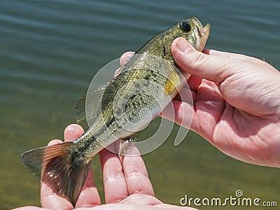 Fish ashigan