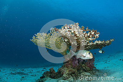 Fish beneath table coral branch