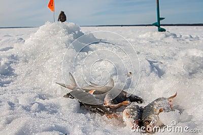 Fish caught on the ice