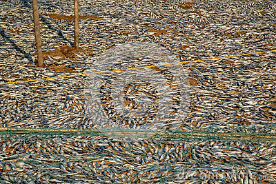 Fish Drying on the Ground