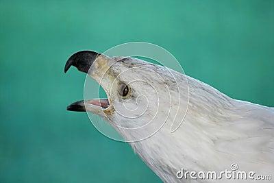 Fish Eagle Cry
