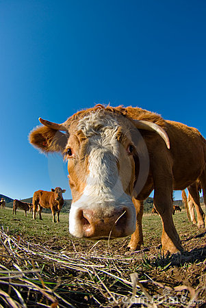 Fish-eye lens view of cow head