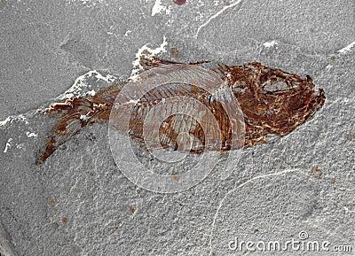 Fish Fossil 5