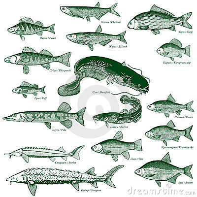 Free Fish Freshwater Vector 1 Royalty Free Stock Photography - 10265207