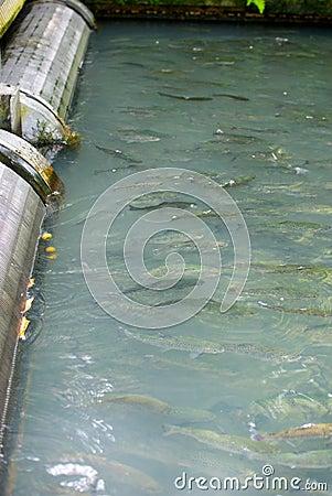 Fish hatchery stock photography image 33271772 for Fish swimming backwards