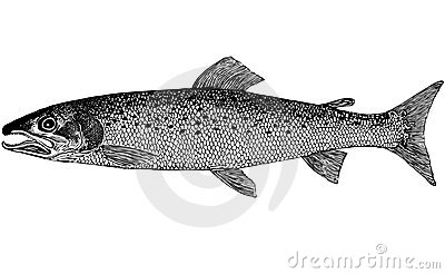 Fish Hucho taimen (Pallas, 1773) illustration