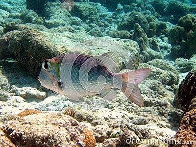 Fish : Humpnose Big-Eye Bream