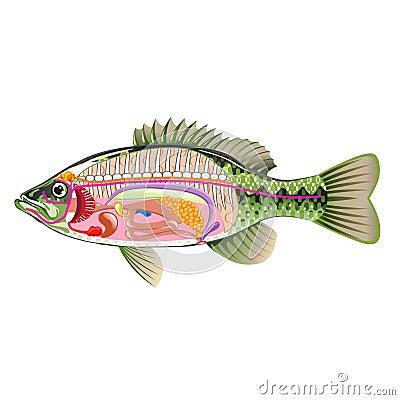 Internal anatomy of fish diagram