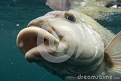 fish lips stock photo image 26237900