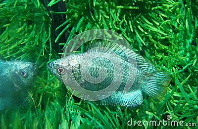 Fish ljalius blue Colisa lalia