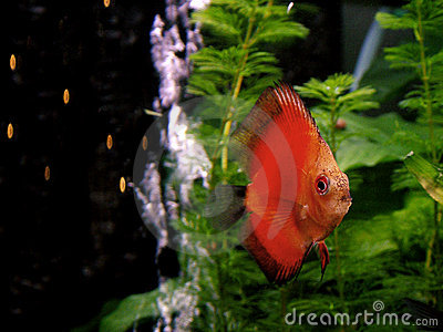 Fish - orange Discus