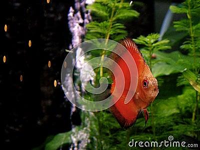 Fish - orange Discus