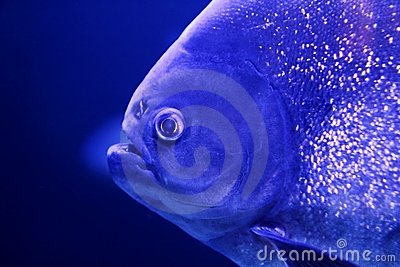 Fish piranha macro face detail blue color water