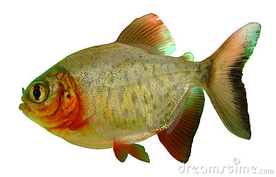 Fish piranha Red paku of Colossoma bidens