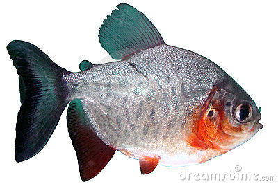 Fish piranha Red paku of Colossoma bidens
